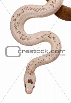 Black Rat Snake hanging from branch against white background, st