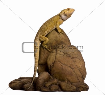Lawson's dragon, Pogona henrylawsoni, perched on rock against wh