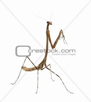Praying mantis, Euchomenella sp, in front of white background