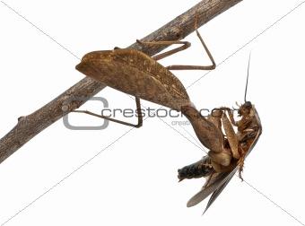 African Mantis or African Praying Mantis, Sphodromantis lineola,
