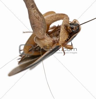 African Mantis or African Praying Mantis, Sphodromantis lineola,