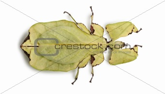 Phyllium giganteum, leaf insect walking leave, phyllidae, in fro