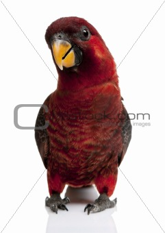 Cardinal Lory, Chalcopsitta cardinalis, standing in front of whi