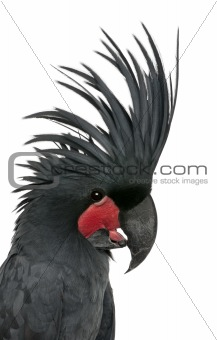 Palm Cockatoo, Probosciger aterrimus, also known as the Goliath