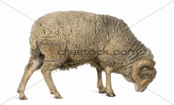 Arles Merino sheep, ram, 5 years old, standing in front of white