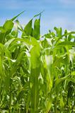 Green corn plantation .