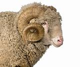 Arles Merino sheep, ram, 5 years old, in front of white backgrou