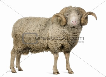 Arles Merino sheep, ram, 5 years old, standing in front of white