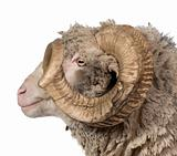 Side view of Arles Merino sheep, ram, 5 years old, in front of w
