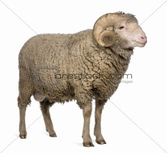 Arles Merino sheep, ram, 3 years old, standing in front of white