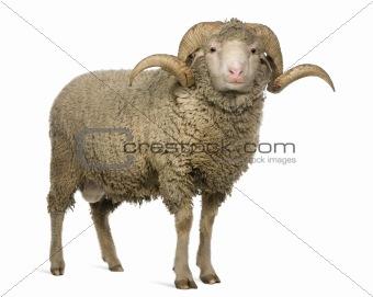 Arles Merino sheep, ram, 3 years old, standing in front of white
