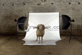 Arles Merino sheep, ram, 3 years old, standing in photo shoot st
