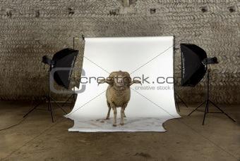 Arles Merino sheep, ram, 3 years old, standing in photo shoot st