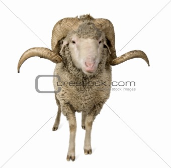 Arles Merino sheep, ram, 1 year old, standing in front of white