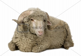 Arles Merino sheep, ram, 1 year old, sitting in front of white b
