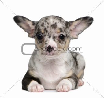 Blue merle Chihuahua Puppy, 8 weeks old, sitting in front of whi