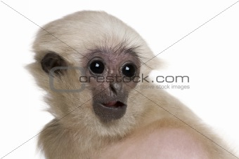Young Pileated Gibbon, 4 months old, Hylobates Pileatus, in fron