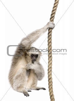 Young Pileated Gibbon, 1 year old, Hylobates Pileatus, swinging