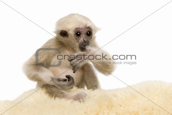 Young Pileated Gibbon, 4 months old, Hylobates Pileatus, on rug