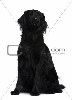 Terre neuve dog, 3 years old, sitting in front of white backgrou