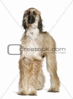 Afghan hound with his hair in the wind, 1 year old, in front of