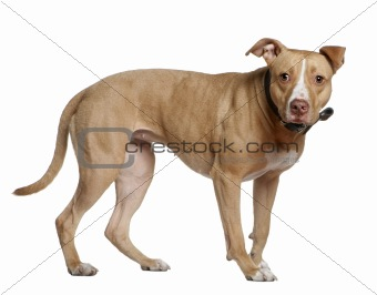 American Staffordshire Terrier, 3 years old, standing in front o