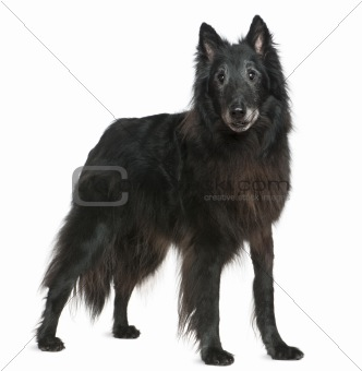 Greenland dog, 14 years old, standing in front of white backgrou