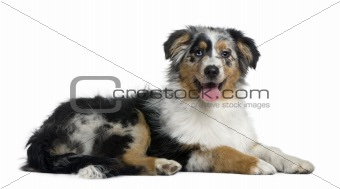 Australian Shepherd dog, 4 months old, in front of white backgro