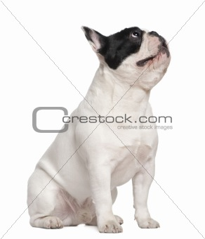 French bulldog sitting on table and looking up, 1 and a half yea