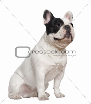 French bulldog sitting on table, 1 and a half years old, in fron