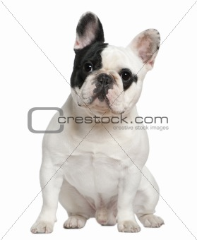 French bulldog, 1 and a half years old, sitting in front of whit