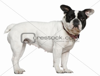 French bulldog, 1 and a half years old, standing in front of whi
