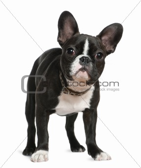 French bulldog, 5 months old, standing in front of white backgro