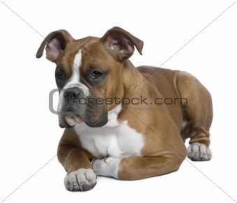 Boxer, 5 months old, lying on table in front of white background