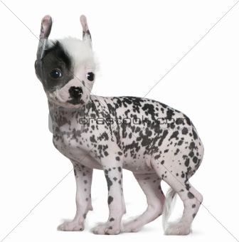 Chinese hairless crested dog, 6 weeks old, standing in front of