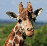 Giraffe head 5