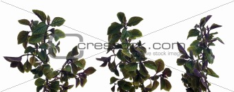 Branch of green leafs