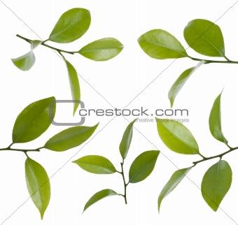 Camelia leafs