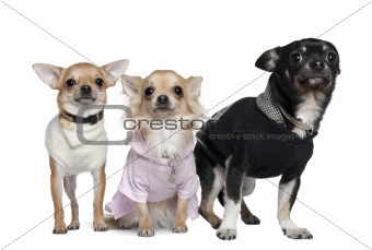 Three Chihuahuas, 1 and 3 years old, in front of white backgroun