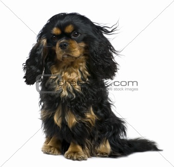 Cavalier king Charles dog, 1 year old, sitting in front of white
