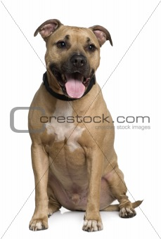 American Staffordshire terrier, 6 years old, sitting in front of