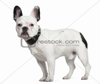 French bulldog, 10 months old, standing in front of white backgr