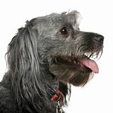 Close-up of Tibetan terrier, 3 years old, in front of white back