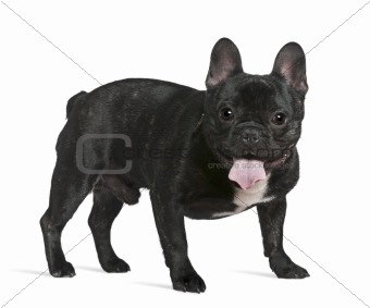 French bulldog, 1 year old, standing in front of white backgroun