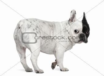 French bulldog, 8 years old, standing in front of white backgrou
