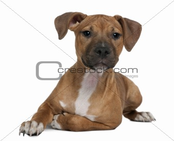 American Staffordshire terrier puppy, 4 months old, in front of