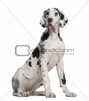 Great Dane puppy, 6 months old, sitting in front of white backgr