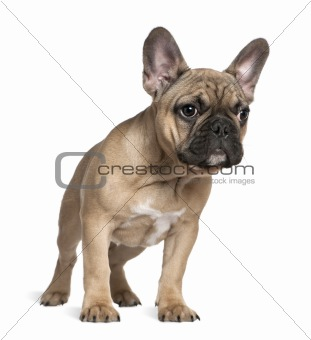 French bulldog puppy, 4 months old, standing in front of white b