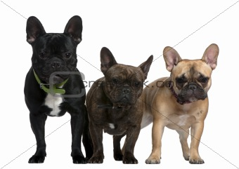 Three French bulldogs, 8 months, 23 months, and 2 and a half yea