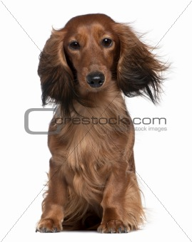 Dachshund with his hair in the wind, 2 years old, sitting in fro